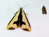 Haploa Species