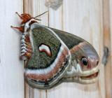 7767 Cecropia Hylaphora cecropia 6-8-2008.JPG