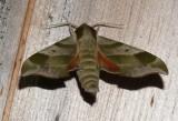 7885 -- Virginia Creeper Sphinx Moth -- Darapsa myron_6-14-2008_Athol.JPG