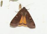 11012 Large Yellow Underwing Moth -  Noctua pronuba .JPG
