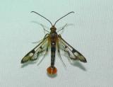 2554 Maple Callus Borer - Synanthedon acerni 7-4-2008 Accepted by BAMONA