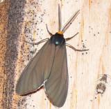 8262 -- Virginia Ctenucha Moth -- Ctenucha virginica 7-4-2008.JPG