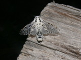 2700 -- Leopard Moth -- Zeuzera pyrina  7-7-2008