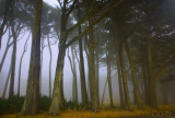 Presidio Forest Fog