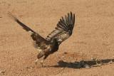 Capovaccaio -Egyptian Vulture