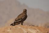 Aquila delle steppe - Steppe Eagle - Aquila nipalensis