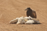 Capovaccaio - Egyptian Vulture - Neophron percnopterus