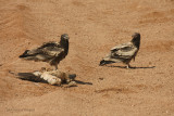 Capovaccaio - EgyptianVulture -Neophron percnopterus
