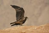 Nibbio Bruno -Black Kite - Milvus migrans