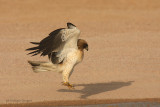 Aquila minore - Booted Eagle - Hieraaetus pennatus
