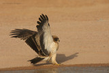 Aquila minore - Booted Eagle- Hieraatus pennatus