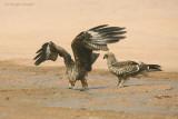 Nibbi Bruni - Black Kites - Milvus migrans