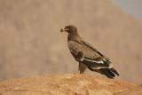 Aquila delle steppe -Steppe Eagle