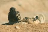Capovaccaio - Egyptian Vulture