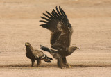 Aquile delle steppe - Steppe Eagles