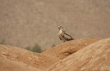 Biancone - Short-toed Eagle - Circaetus gallicus
