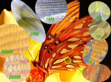 Microstructure of the Hindwing of the Gulf Fritillary