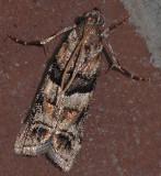 Loblolly Pine Coneworm Moth (5863.1)
