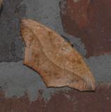 Large Maple Spanworm Moth (6982)