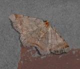 Bicolored Angle Moth (6341)