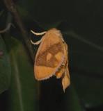 Abbreviated Button Slug Moth (4654)