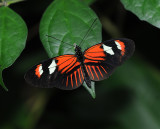 Heliconius Sub-tropical Butterflies
