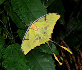 African Moon Moth Gallery