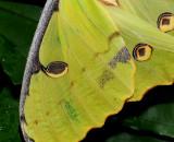 African Moon Moth 3 3.jpg