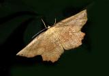 Obtuse Euchlaena Moth (6726)