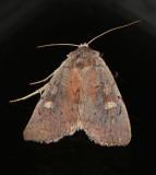 Dull Reddish Dart Moth (10969)