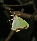 Red-bordered Wave Moth (7033)