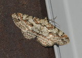 Brown Shaded Gray Moth (6586)
