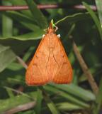 Genista Broom Moth (4992)