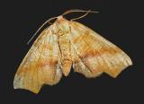 Fervid Plagodis Moth (6843)