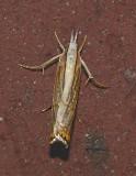 Graceful Grass Veneer Moth (5450)