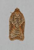 Acleris semiannula (3521)