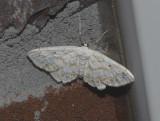 Rippled Wave Moth (7123)