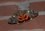 US MOTHS:  Noctuidae:Catacola - Amphipyrinae