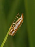 Double-banded Grass-veneer Moth (5362)