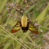 Snowberry Clearwing Moth (7855)