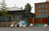 Goose attack. The town of Atchinsk