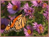 Monarque / Monarch / Danaus plexippus plexippus