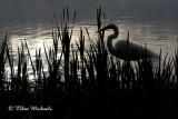 Great Egret On Pond