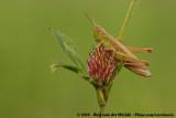 Lesser Marsh Grasshopper  (Kustsprinkhaan)