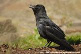 Carrion CrowCorvus corone corone