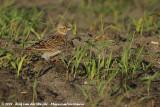 Eurasian Skylark  (Veldleeuwerik)