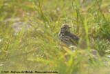 Meadow PipitAnthus pratensis