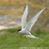 Noordse Stern / Arctic Tern