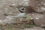 Bontbekplevier / Common Ringed Plover