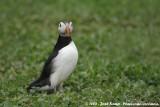 Papegaaiduiker / Atlantic Puffin
